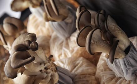 Elaboración de Micelio Semilla de Hongos Comestibles y Medicinales