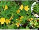Oleomacerado de Hipérico: un alivio natural para el dolor del ciático