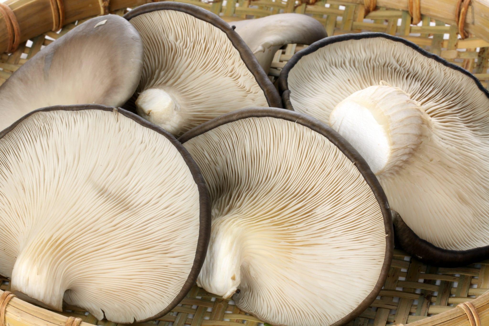 Producción de Hongos Gírgolas u Ostra (Pleurotus) sobre sustratos artificiales