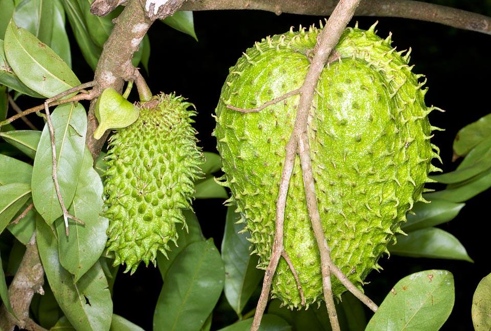 Las hojas de la Annona muricata L. proceden de un árbol frutal de entre 4 y 6 m. de altura perteneciente a la familia botánica Annonaceae, al igual que la Chirimoya.