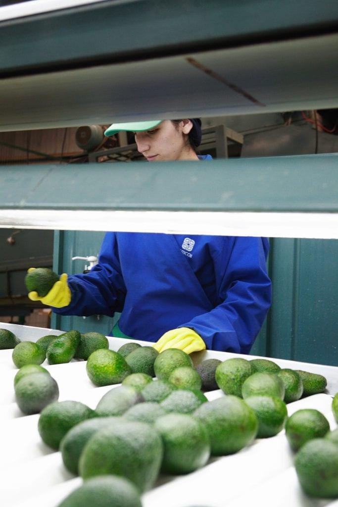 Cosecha y Poscosecha de Frutas y Hortalizas en Argentina: Peras