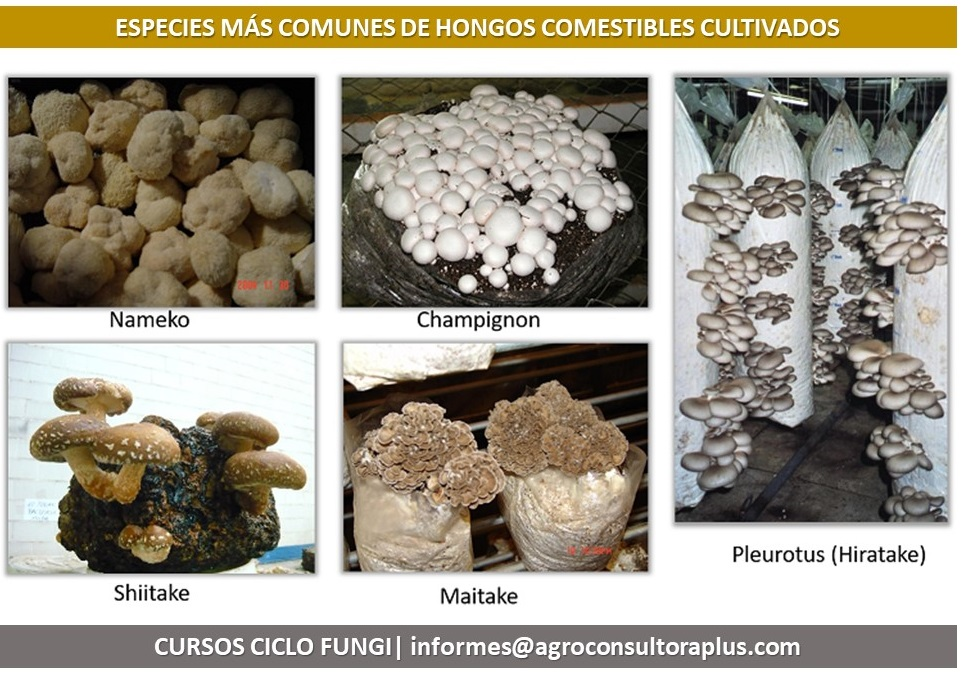 ¿Qué se necesita para producir hongos comestibles?